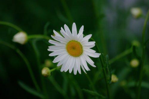 daisy-2361437_1920_500x332