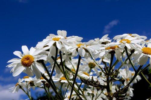 daisy-615217_1920_500x333