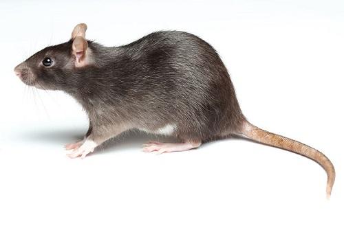 Доклад сообщение Мышь (описание для детей)